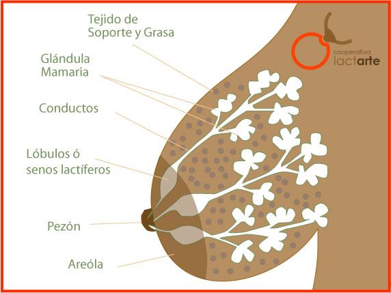 Anatomía Mamaria Lactarte 1